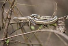 Band-Schlange in Louisiana Stockfoto