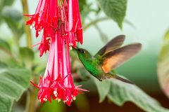 Band-tailed Barbthroat hovering next to red flower in garden, bird from mountain tropical forest, Savegre, Costa Rica. Natural habitat, garden beautiful green royalty free stock images