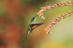Band-tailed Barbthroat, Threnetes ruckeri, hovering next to red flower in garden, hummingbird mountain tropical forest, Costa Rica. Female of Band-tailed stock photo