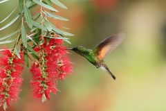 Band-tailed Barbthroat, Threnetes ruckeri, hovering next to red flower in garden, hummingbird mountain tropical forest, Costa Rica. Male of Band-tailed royalty free stock photos