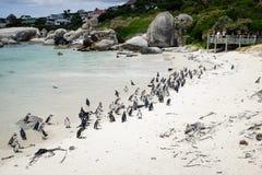 Band van Afrikaanse Pinguïnen Stock Fotografie