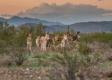 Band van wilde hollen in de woestijn stock foto
