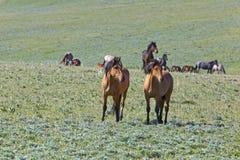 Band van Wilde Mustangen royalty-vrije stock fotografie