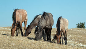 Band of Wild Horses grazing on Sykes Ridge in the Pryor Mountains Wild Horse Range in Montana - US Stock Photography