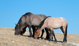 Band of Wild Horses grazing on Sykes Ridge in the Pryor Mountains Wild Horse Range in Montana - USA Royalty Free Stock Image
