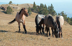 Band of Wild Horses grazing on Sykes Ridge in the Pryor Mountains Wild Horse Range in Montana Stock Image