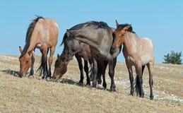 Band of Wild Horses on Sykes Ridge in the Pryor Mountains Wild Horse Range in Montana - United States Stock Photos