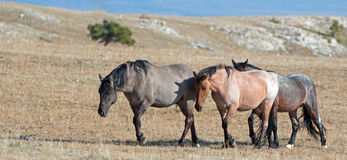 Band of Wild Horses walking in line on Sykes Ridge in the Pryor Mountains Wild Horse Range in Montana - US of America Royalty Free Stock Photos