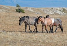 Band of Wild Horses walking in line on Sykes Ridge in the Pryor Mountains Wild Horse Range in Montana - US of A Stock Image