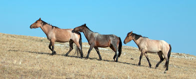 Band of Wild Horses walking in line on Sykes Ridge in the Pryor Mountains Wild Horse Range in Montana - US Royalty Free Stock Image