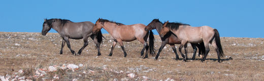 Band of Wild Horses walking in line on Sykes Ridge in the Pryor Mountains Wild Horse Range in Montana Stock Photography