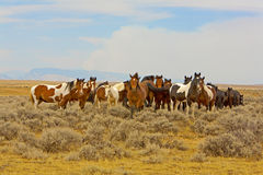 A Band of Wild Mustangs