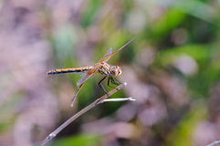 Band-winged Meadowhawk Dragonfly. A Band-winged Meadowhawk dragonfly rests on a branch in the mid-afternoon sun Royalty Free Stock Photos