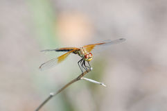 A Band-winged Meadowhawk dragonfly. Rests on a branch in the mid-afternoon sun Royalty Free Stock Photography