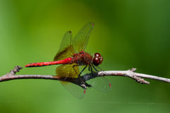 Band-winged Meadowhawk. Perched on a branch royalty free stock images