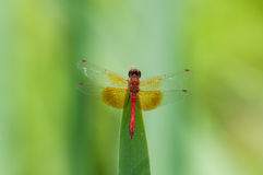 Band-winged Meadowhawk. Perched on a cattail royalty free stock photo