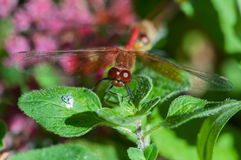 Band-winged Meadowhawk. Perched on a plant royalty free stock image