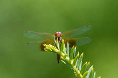 Band-winged Meadowhawk. Perched on a plant royalty free stock photos