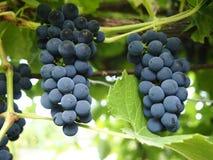 banda ścinku zawierać ścieżka winogron Zdjęcie Stock