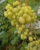 banda ścinku zawierać ścieżka winogron Fotografia Royalty Free