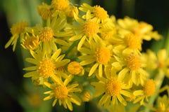 banda żółte kwiaty Zdjęcia Royalty Free