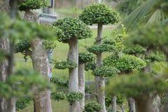 banda bonsai Obrazy Royalty Free