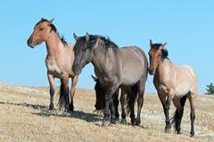 Banda de los caballos salvajes que caminan en Sykes Ridge en la gama del caballo salvaje de las montañas de Pryor en Montana - lo Imágenes de archivo libres de regalías
