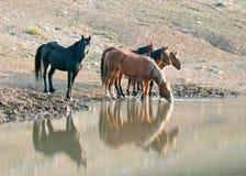 Banda de los caballos salvajes que reflejan en el agua mientras que bebe en el waterhole en la gama del caballo salvaje de las mo Fotos de archivo