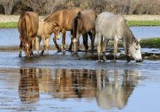 Banda del caballo salvaje del río Salt Imagenes de archivo