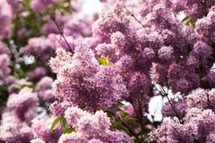 banda kwiat bez różowy Fotografia Stock