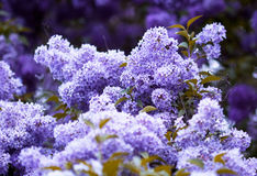 banda kwiat bez violet Zdjęcie Royalty Free