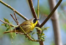 Common Yellowthroat Royalty Free Stock Image