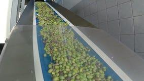 Banda transportadora con las aceitunas maduras en fábrica del aceite de oliva metrajes