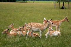 Bandada de los ciervos de huevas Fotos de archivo libres de regalías