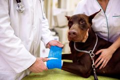 Bandage de mise vétérinaire sur la jambe en difficulté de chien à la fin de bureau d'animal familier image stock