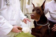 Bandage de mise vétérinaire sur la jambe en difficulté de chien au bureau d'animal familier photos libres de droits