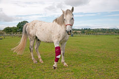 Bandaged Foreleg Royalty Free Stock Image