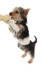 Bandaged yorkshire terrier puppy on a bone Royalty Free Stock Photos