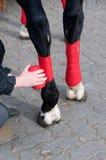 Bandaging horses'  legs. Stock Photos