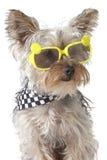 Bandana d'uso del cucciolo di cane dell'Yorkshire terrier ed occhiali da sole minuscoli Fotografia Stock