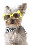 Bandana d'uso del cucciolo di cane dell'Yorkshire terrier ed occhiali da sole minuscoli Fotografie Stock Libere da Diritti