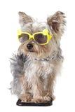 Bandana d'uso del cucciolo di cane dell'Yorkshire terrier ed occhiali da sole minuscoli Fotografia Stock Libera da Diritti
