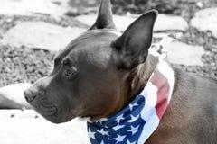 Bandana de Pit Bull Dog Wearing Patriotic fotos de stock