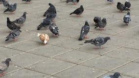 Bande d'alimenter de pigeons clips vidéos