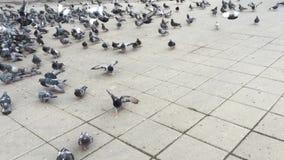 Bande d'alimenter de pigeons banque de vidéos