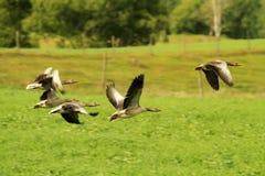 Bande d'oies cendrées Photos stock