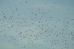 Bande d'oiseaux au-dessus de ciel bleu Photographie stock libre de droits