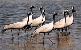 Bande d'oiseaux migrateurs. photos stock