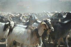 Bande de chèvre Image libre de droits