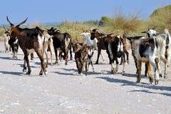 Bande de chèvres Image libre de droits